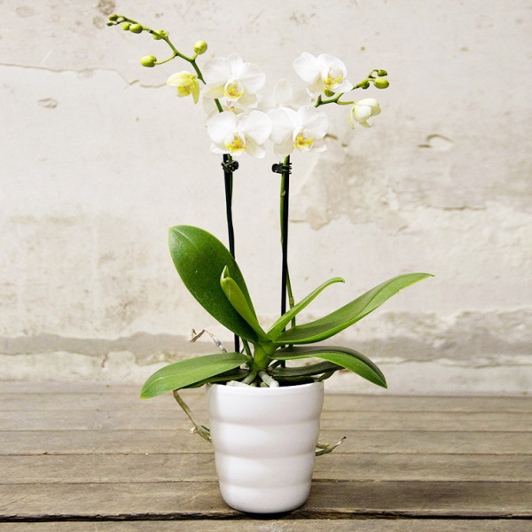 Orchidea phalaenopsis bianca piccola citt dei fiori - Vaso in gres per orchidee ...