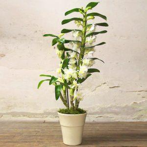 """Orchidea """"Dendrobium"""""""