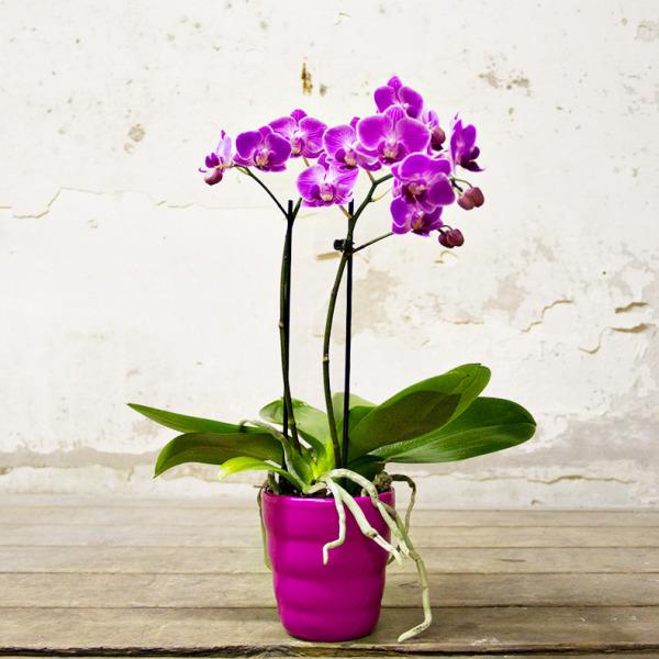 Orchidea viola citt dei fiori consegna in giornata a for Orchidea prezzo