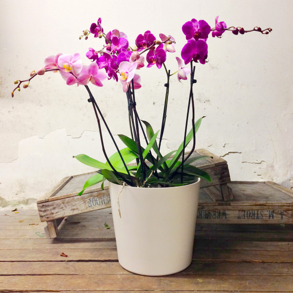 Composizione di orchidee citt dei fiori consegna in - Vaso in gres per orchidee ...