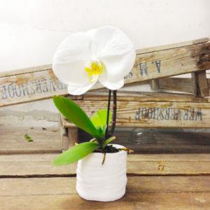 "Orchidea ""Singolo"" – Vaso incluso"