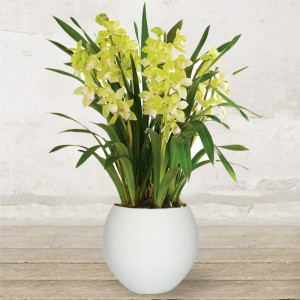 "Orchidea ""Cymbidium"" Grande"