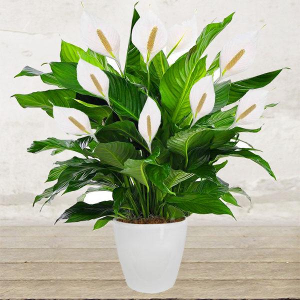 Spathiphyllum grande citt dei fiori consegna in for Spatifillo pianta