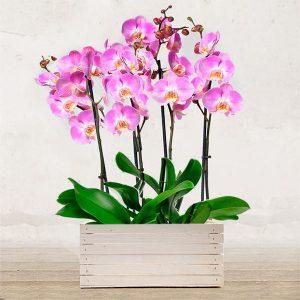 Composizione 2 Orchidee Rosa