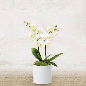 Orchidea Bianca Piccola
